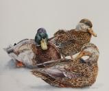 Mallard Trio - by Helen Shideler
